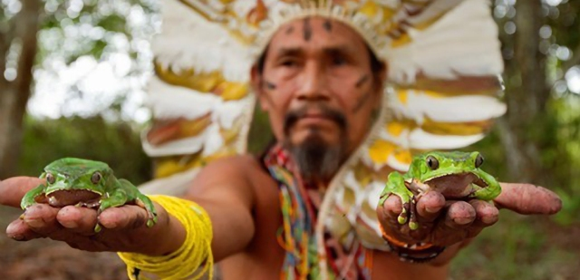 Shaman with frogs to elaborate Kambo medicine. Amazon. Alto jurua. Croa, Brazil